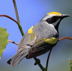 Golden-winged Warbler Adult male - A boldly marked warbler with a color pattern all its own, Golden-winged Warblers are slim, silvery gray birds with golden flashes on the head and wings. Conservation Status: Near Threatened