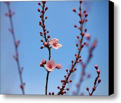 Spring Flowering Tree Stretched Canvas Print / Canvas Art By Patricia S