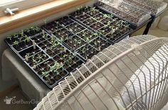 How To Care For Seedlings: The Ultimate Guide - Get Busy Gardening Growing seedlings indoors doesn't When To Transplant Seedlings, Growing Seedlings, Growing Veggies, Garden Seeds, Planting Seeds, Get Rid Of Mold, Starting Seeds Indoors, Floor Fans, Hobby Farms