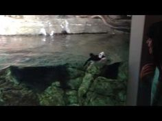 Horned Puffin (aquatic bird) chasing a girl at Monterey Bay Aquarium