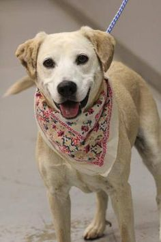 ADOPTED>NAME: Peaches  ANIMAL ID: 34796973  BREED: Retriever mix  SEX: male  EST. AGE: 4 yr  Est Weight: 32 lbs  Health: Heartworm neg  Temperament: dog friendly people friendly  ADDITIONAL INFO: RESCUE PULL FEE: $35  Intake date: 3/6  Available: Now