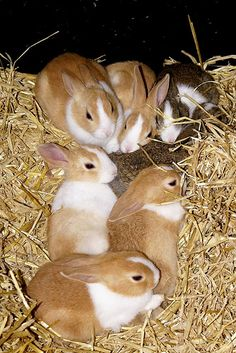 A litter of Dutch rabbits © Martin Pettitt by Pet Info Club, via Flickr