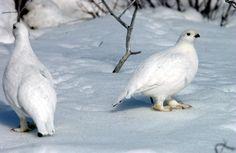 Lagopède alpin. Une espèce rare change sa couleur durant l'année : blanc en hiver et brun en été