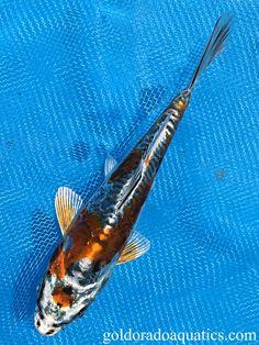 Individual Koi Fish for Sale. Koi Fish For Sale, Kohaku, Black Dragon, Tropical Fish, Ph, Stress, Base, Change, Gold