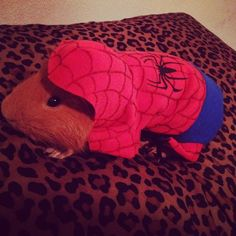 Spiderman and a Cavy?? Oh my goodness. My life is complete. I can die now.
