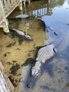 Dragon Nest Warrior, Crocodile Eyes, Us Destinations, Nature Activities, Alligators, Reptiles And Amphibians, Cute Couple Pictures, Zoology, Mafia