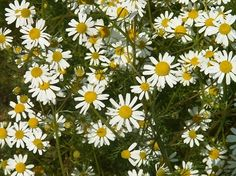 *WANT* Heirloom Common German Chamomile Seeds   Grow Common German Chamomile - Common German Chamomile produces tiny, daisy-like, apple-scented flowers that may be harvested 55 to 65 days after sowing. Used for a relaxing fine flavored tea and as a gentle sleep aid. Leaves and flowers are antiseptic.