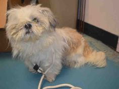 Urgent Staten Island - GIZMO - #A1092687 - MALE WHITE BROWN SHIH TZU MIX, 4 Yrs - OWNER SUR - EVALUATE, HOLD RELEASED Reason NO TIME - Intake 10/07/16 Due Out 10/07/16 - TRIED TO BITE, NOT EASY TO HANDLE