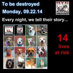 TO BE DESTROYED: 14 Dogs to be euthanized by NYC ACC- MON. 9/22/14. This is a HIGH KILL shelter group. YOU may be the only hope for these pups! ****PLEASE SHARE EVERYWHERE!! To rescue a Death Row Dog, Please read this:  http://urgentpetsondeathrow.org/must-read/    To view the full album, please click here:    https://www.facebook.com/media/set/?set=a.611290788883804.1073741851.152876678058553&type=3