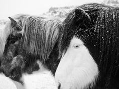 icelandic horses - Iceland * 2017