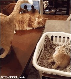 Kitten is Adorably Hypnotized by Cat's Tail