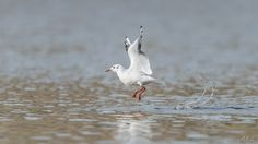 Seagull take-off by Rachid Asbai on 500px