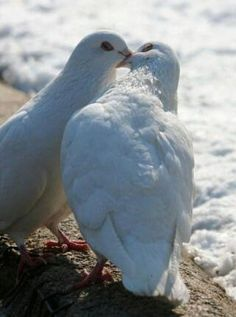 Beautiful kissing doves... they mate for life you know.  You will almost always see them in pairs except when they have a baby and then you will see the young one once it's almost adult size. ♥♥♥♥♥♥♥