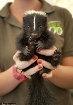 skunks are docile and sweet creatures....but if your pet has been sprayed...here are some solutions!