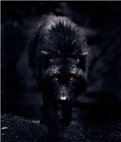 black wolf with red eyes | Black Wolf Red Eyes Picture