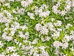 choisya aztec pearl floraison