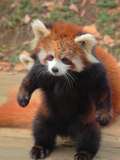 """five-sevenths: """" Give me an apple. Cute Funny Animals, Cute Baby Animals, Animals And Pets, Cute Dogs, Red Panda Cute, Panda Love, Panda Puppy, Panda Bear, Tier Fotos"""