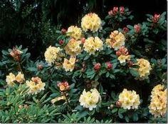 Rhododendron - Google Search
