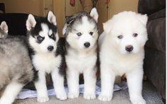"8,554 Likes, 50 Comments - Siberian Husky (@officialhuskylovers) on Instagram: ""@siberianhuskies3 ❤️❤️❤️ #officialhuskylovers #husky #puppy #puppylove #siberianhusky ❤️❤️❤️"" #siberianhuskypuppy"