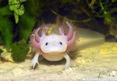 albino axolotl
