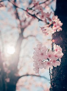 So beautiful! Looks like a Japanese Cherry Blossom Tree Flor Magnolia, Beautiful Flowers, Beautiful Pictures, Sakura Cherry Blossom, Cherry Blossoms, Blossom Trees, Spring Blossom, Jolie Photo, Cherry Tree