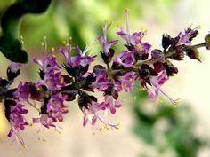 ocimum sanctum tenuiflorum tulsi manjericão sagrado sementes