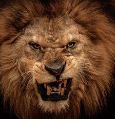 Close-Up Shot Of Roaring Lion Poster van NejroN Photo Lion Quotes, Pride Quotes, Wisdom Quotes, Lion Poster, Gato Grande, Lion And Lioness, Fierce Lion, Le Roi Lion, White Tattoos