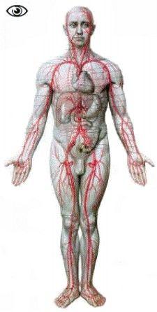 Anatomie du corps humain les principales veines for A l interieur du corps humain