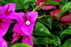 Bougainvillea is popular in the southern United States, where this flowering evergreen vine can grow up to 12 feet long. If your dog eats bougainvillea, seek veterinary help -- this plant is classified as mildly toxic to dogs and children.