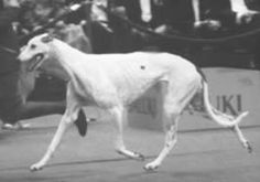 """Greyhound The Archtypical Sighthound quoted in the late 14oo's - """"A greyhound should be headed like a snake and necked like a drake, backed like a beam, sided like a bream, footed like a cat and tailed like a rat""""."""