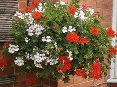 Hanging Basket Entry Number Thirty-six #hangingbasket #garden #gardening #flowers #inspiration #summer