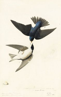 John James Audubon, Tree Swallow (Tachycineta bicolor), Study for Havell pl. 98 (variantly numbered pl. 100 as in N-YHS copy); sketches of an egg and a feather, 1824. Watercolor, graphite, gouache, pastel, black chalk, and black ink with selective glazing on paper, laid on card; 18 15/16 x 11 13/16 in. (48.1 x 30 cm)New-York Historical Society, Purchased for the Society by public subscription from Mrs. John J. Audubon, 1863.17.100