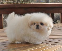 CUTEST pekingese puppy ever! << OMG i wonder if this is what rand looked like as a puppy!: