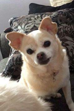Senior Dog Haven and Hospice - Wilmington, DE - Adoptable dog - Chihuahua