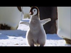 Cool Cute Chicks! - Amazing Animal Babies: Emperor Penguin Chicks (Ep 5) - really great footage of penguin chicks hatching!