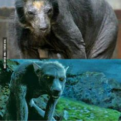A shaved bear looks a lot like Werewolf Lupin