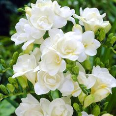 Freesia Bulb Double WhiteA wide range of colors and an alluring floral fragrance make freesia hard to resist. With up to eight trumpet-shaped, upward-pointing blossoms on leafless stems, freesias make delightful cut flowers that last a long time. Gardenias, Freesia Flowers, Cut Flowers, White Flowers, Beautiful Flowers, Exotic Flowers, Flowers Garden, Yellow Roses, Purple Flowers