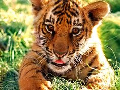 Tiger Photo:  This Photo was uploaded by babybridge09. Find other Tiger pictures and photos or upload your own with Photobucket free image and video host...