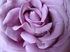 lilac rose