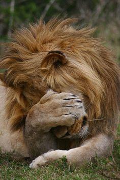 PawPalm;) Lion