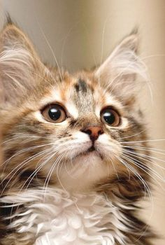 Ah > Beautiful Cats For Sale In Lahore #facebook