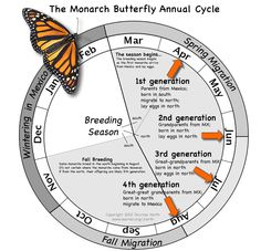 Monarch Butterfly Annual Cycle Graphic