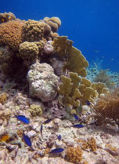 Snorkeling Bonaire - Blue Chromis & Corals by TropicalSnorkeling.com, via Flickr