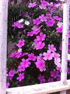Quaresmeira no quintal na Rua Sapucaia