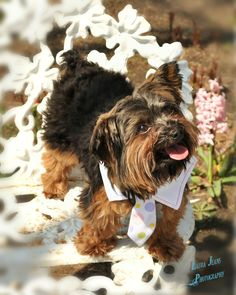 Timmy the rescue yorkie- photo by my sister laura
