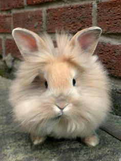 Lionhead Bunny. Couldn't decide whether to put this under adorable/cute or amazing animals.