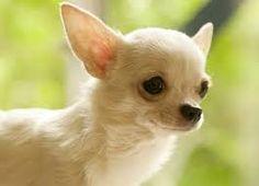 """Képtalálat a következőre: """"kicsi kutyák fajtái"""""""