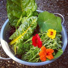 De oogst van vandaag! #sla #salade #snijbiet #krulsla #rucola #pluksla #oostindischekers #eetbarebloemen #growyourownfood #moestuin #moestuingeluk #volkstuin #tuinieren #vegetablegarden #urbangardening #nasturtium #todaysharvest