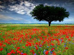 WebQuest: As Plantas com flores Meadow Flowers, Red Flowers, Wildflowers, Beautiful World, Beautiful Places, Field Wallpaper, Mac Wallpaper, Wild Poppies, Single Tree
