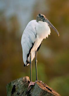 Woods stork (Mycteria americana) feed in shallow water by sticking their bills in the water and snapping them shut when they feel their prey. Stork Bird, World Birds, Storks, Bald Heads, Beautiful Butterflies, Bird Watching, Glass Design, Shallow, Bird Art